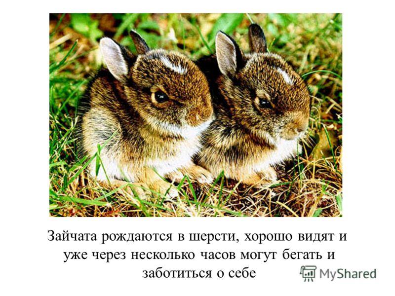Зайчата рождаются в шерсти, хорошо видят и уже через несколько часов могут бегать и заботиться о себе