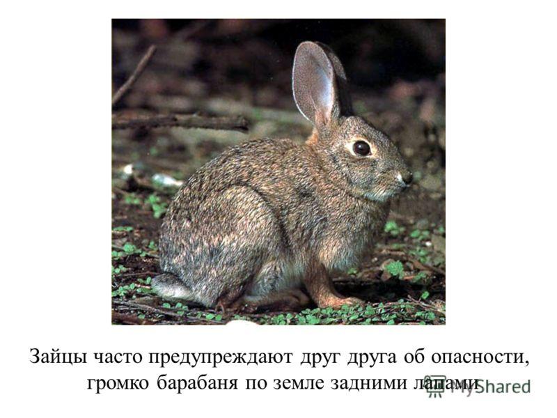 Зайцы часто предупреждают друг друга об опасности, громко барабаня по земле задними лапами