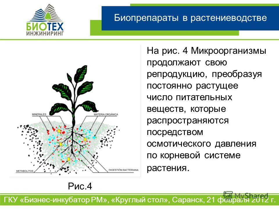 Биопрепараты в растениеводстве ГКУ «Бизнес-инкубатор РМ», «Круглый стол», Саранск, 21 февраля 2012 г. На рис. 4 Микроорганизмы продолжают свою репродукцию, преобразуя постоянно растущее число питательных веществ, которые распространяются посредством