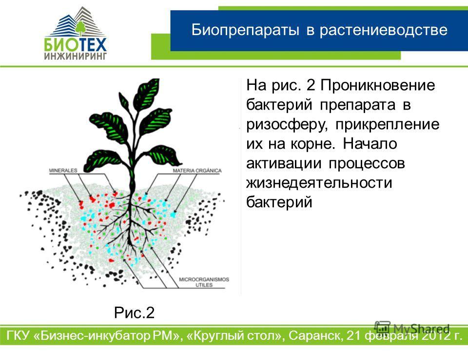 Биопрепараты в растениеводстве ГКУ «Бизнес-инкубатор РМ», «Круглый стол», Саранск, 21 февраля 2012 г. На рис. 2 Проникновение бактерий препарата в ризосферу, прикрепление их на корне. Начало активации процессов жизнедеятельности бактерий Рис.2