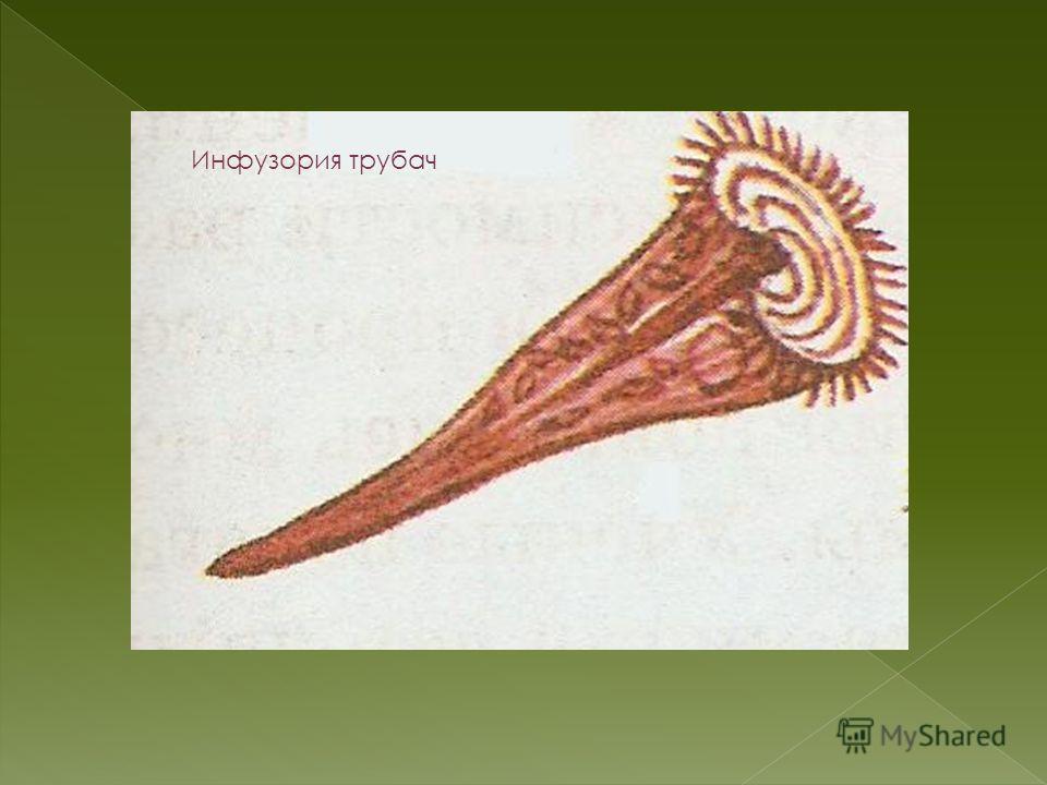 Инфузория трубач