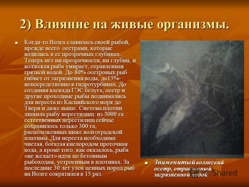 2) Влияние на живые организмы. Когда-то Волга славилась своей рыбой, прежде всего осетрами, которые водились в ее прозрачных глубинах. Теперь нет ни прозрачности, ни глубин, и волжская рыба умирает, отравленная грязной водой. До 80% осетровых рыб гиб
