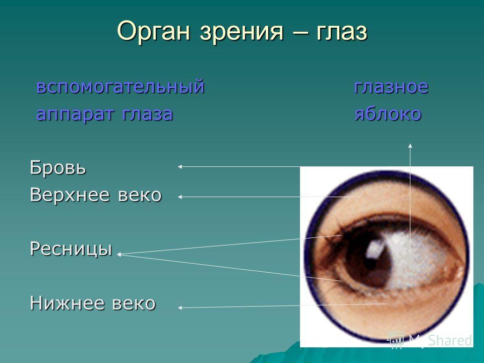 Зрительный анализатор Зрительный анализатор Зрительный анализатор Орган зрительный зрительная Зрения нерв зона коры больших больших полушарий полушарий