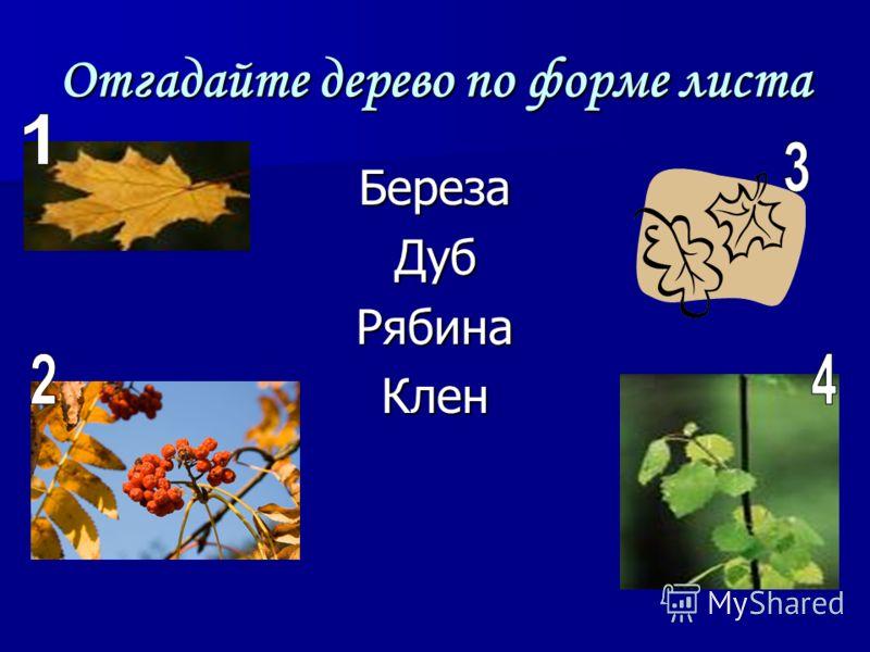 Отгадайте дерево по форме листа БерезаДубРябинаКлен
