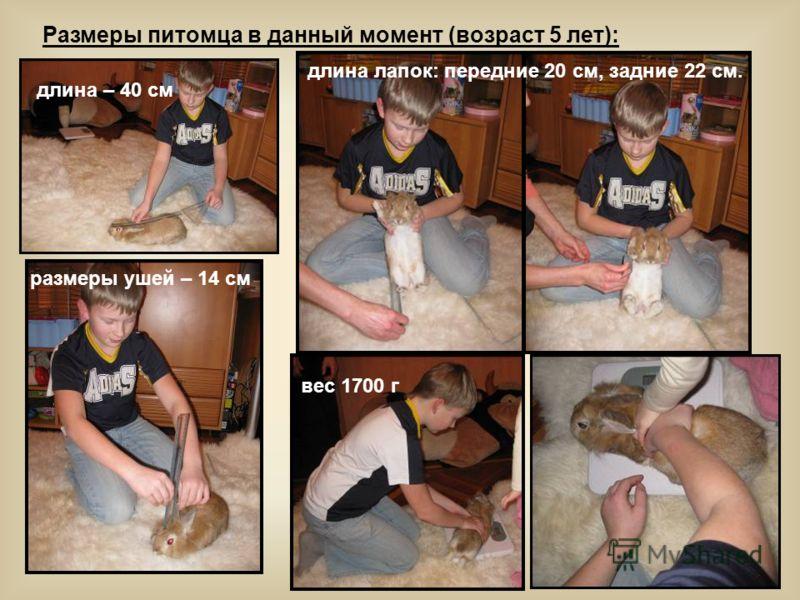 Размеры питомца в данный момент (возраст 5 лет): длина – 40 см размеры ушей – 14 см длина лапок: передние 20 см, задние 22 см. вес 1700 г