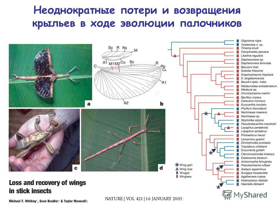 Неоднократные потери и возвращения крыльев в ходе эволюции палочников