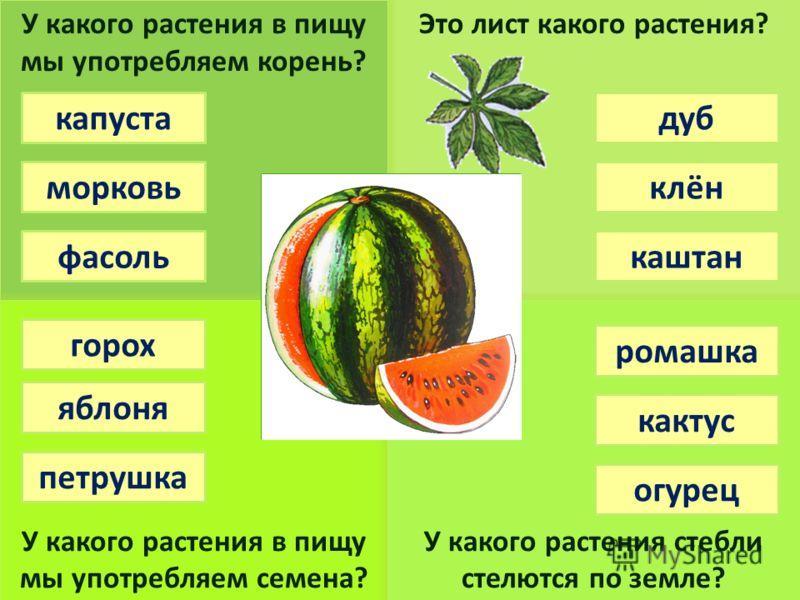 Это лист какого растения?У какого растения в пищу мы употребляем корень? У какого растения в пищу мы употребляем семена? У какого растения стебли стелются по земле? фасоль морковь капуста горох яблоня петрушка дуб клён каштан ромашка кактус огурец
