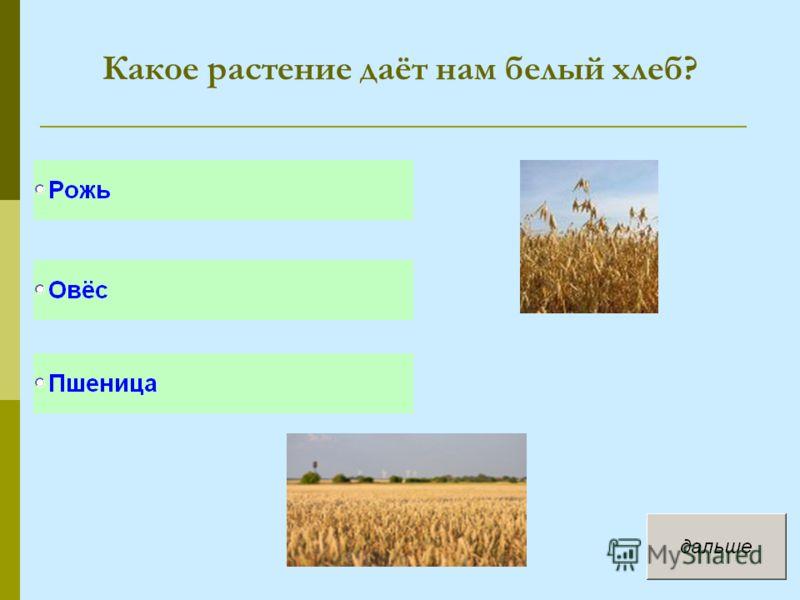Какое растение даёт нам белый хлеб?