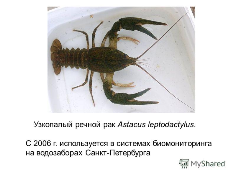 Узкопалый речной рак Astacus leptodactylus. С 2006 г. используется в системах биомониторинга на водозаборах Санкт-Петербурга