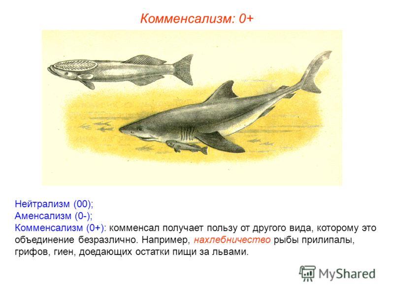 Нейтрализм (00); Аменсализм (0-); Комменсализм (0+): комменсал получает пользу от другого вида, которому это объединение безразлично. Например, нахлебничество рыбы прилипалы, грифов, гиен, доедающих остатки пищи за львами. Комменсализм: 0+
