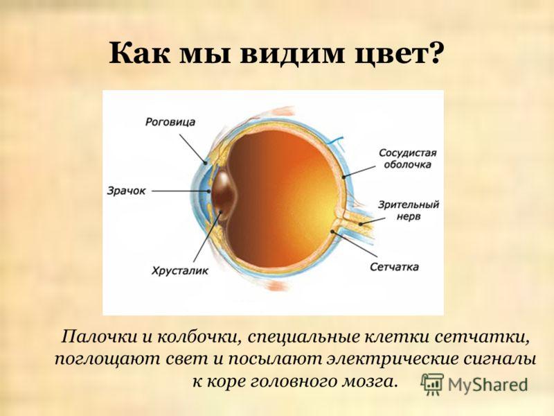 Как мы видим цвет? Палочки и колбочки, специальные клетки сетчатки, поглощают свет и посылают электрические сигналы к коре головного мозга.