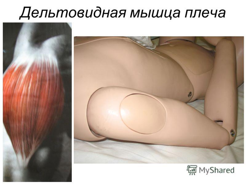 Дельтовидная мышца плеча