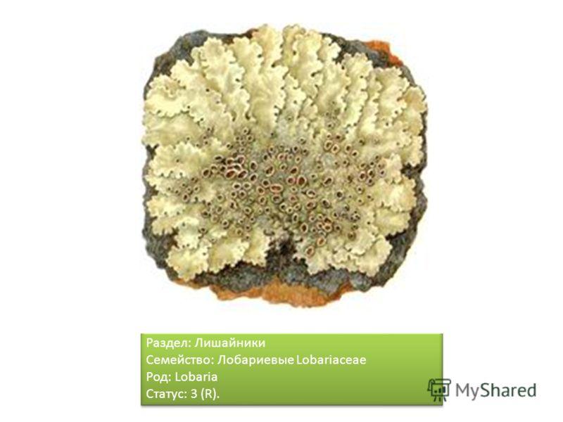 Раздел: Лишайники Семейство: Лобариевые Lobariaceae Род: Lobaria Статус: 3 (R). Раздел: Лишайники Семейство: Лобариевые Lobariaceae Род: Lobaria Статус: 3 (R).