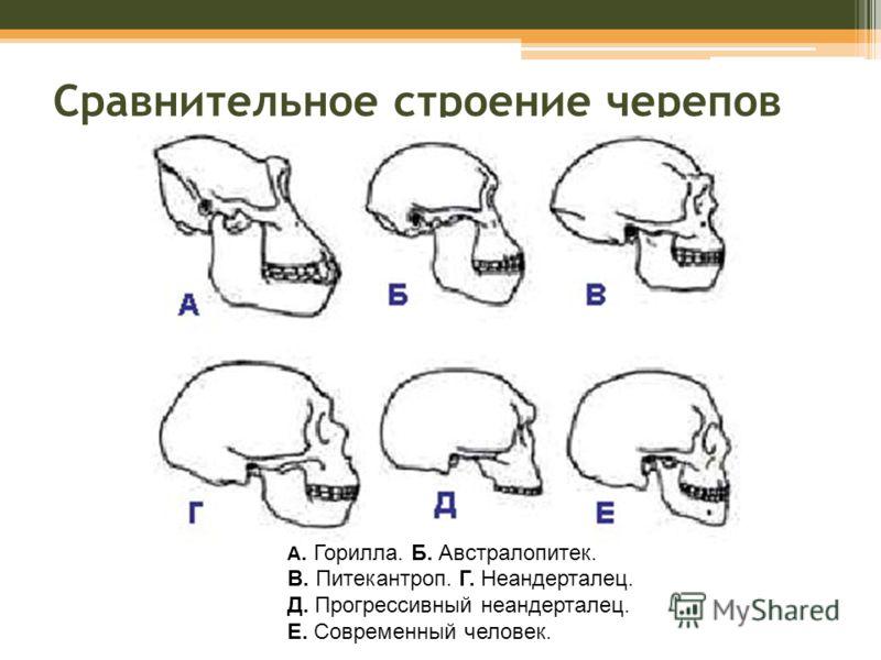 Сравнительное строение черепов А. Горилла. Б. Австралопитек. В. Питекантроп. Г. Неандерталец. Д. Прогрессивный неандерталец. Е. Современный человек.