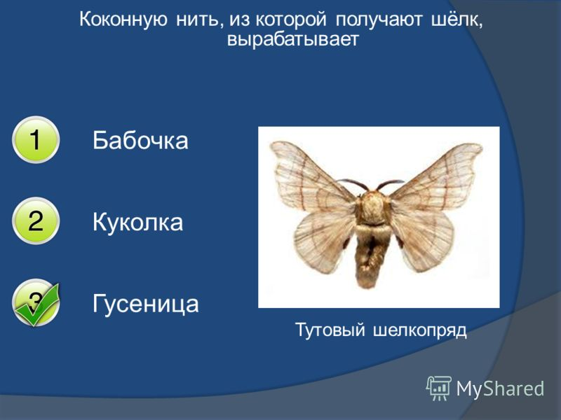 Коконную нить, из которой получают шёлк, вырабатывает Бабочка Куколка Гусеница Тутовый шелкопряд