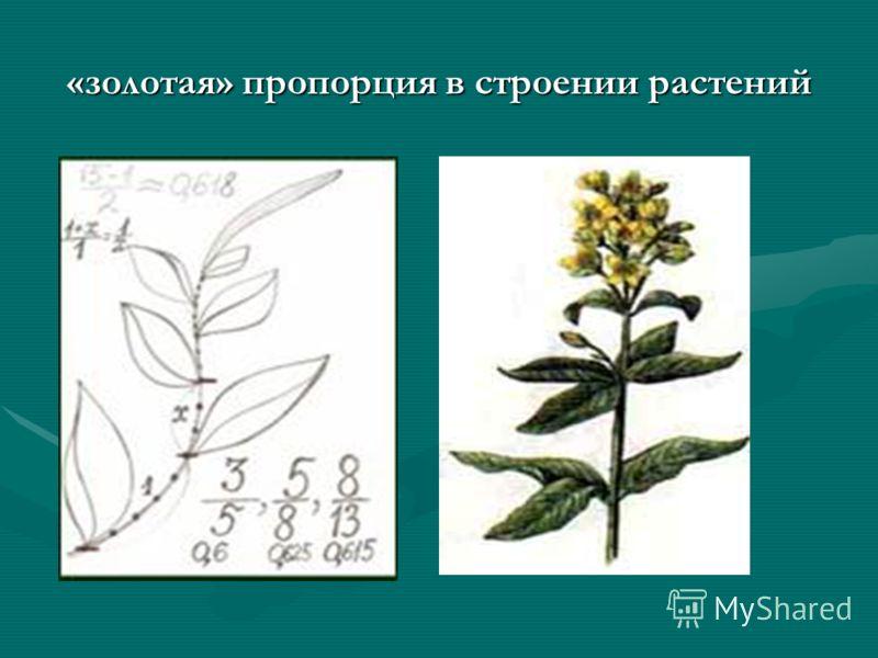 «золотая» пропорция в строении растений
