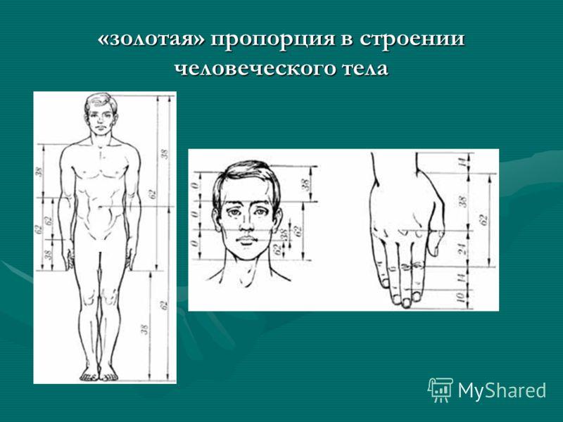 «золотая» пропорция в строении человеческого тела
