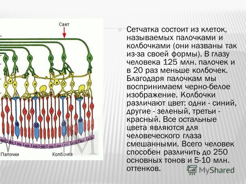 Сетчатка состоит из клеток, называемых палочками и колбочками (они названы так из-за своей формы). В глазу человека 125 млн. палочек и в 20 раз меньше колбочек. Благодаря палочкам мы воспринимаем черно-белое изображение. Колбочки различают цвет: одни