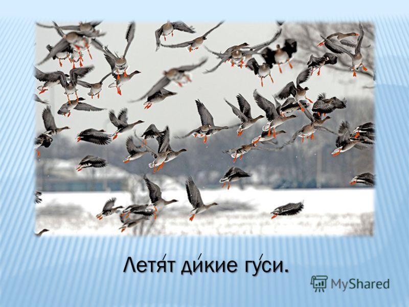 Летят дикие гуси.