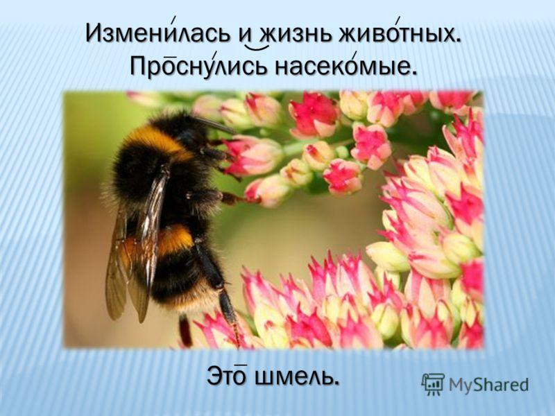 Изменилась и жизнь животных. Проснулись насекомые. Это шмель.