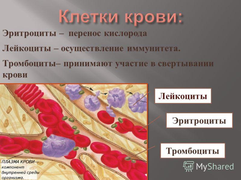 Лейкоциты Эритроциты Тромбоциты Эритроциты – перенос кислорода Лейкоциты – осуществление иммунитета. Тромбоциты – принимают участие в свертывании крови
