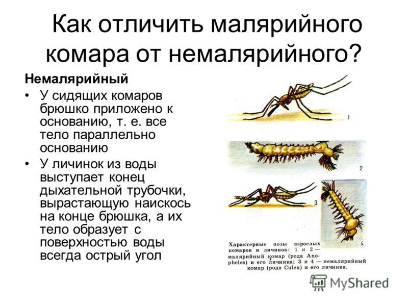 Как отличить малярийного комара от немалярийного? Немалярийный У сидящих комаров брюшко приложено к основанию, т. е. все тело параллельно основанию У личинок из воды выступает конец дыхательной трубочки, вырастающую наискось на конце брюшка, а их тел