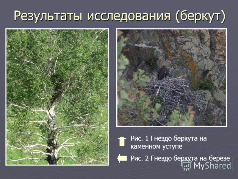 Результаты исследования (беркут) Рис. 1 Гнездо беркута на каменном уступе Рис. 2 Гнездо беркута на березе