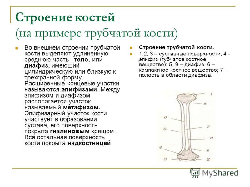 Строение костей (на примере трубчатой кости) Во внешнем строении трубчатой кости выделяют удлиненную среднюю часть - тело, или диафиз, имеющий цилиндрическую или близкую к трехгранной форму. Расширенные концевые участки называются эпифизами. Между эп