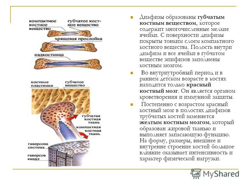 Диафизы образованы губчатым костным веществом, которое содержит многочисленные мелкие ячейки. С поверхности диафизы покрыты тонким слоем компактного костного вещества. Полость внутри диафиза и все ячейки в губчатом веществе эпифизов заполнены костным