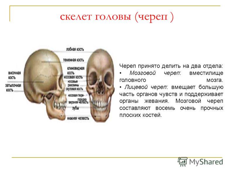 скелет головы (череп ) Череп принято делить на два отдела: Мозговой череп: вместилище головного мозга. Лицевой череп: вмещает большую часть органов чувств и поддерживает органы жевания. Мозговой череп составляют восемь очень прочных плоских костей.