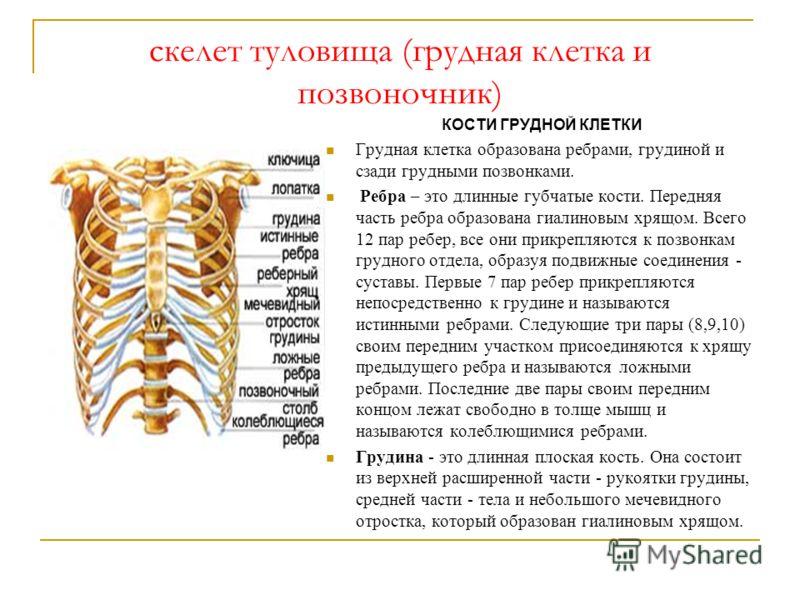 скелет туловища (грудная клетка и позвоночник) КОСТИ ГРУДНОЙ КЛЕТКИ Грудная клетка образована ребрами, грудиной и сзади грудными позвонками. Ребра – это длинные губчатые кости. Передняя часть ребра образована гиалиновым хрящом. Всего 12 пар ребер, вс
