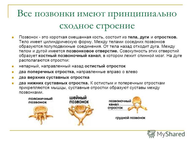 Все позвонки имеют принципиально сходное строение Позвонок - это короткая смешанная кость, состоит из тела, дуги и отростков. Тело имеет цилиндрическую форму. Между телами соседних позвонков образуются полуподвижные соединения. От тела назад отходит
