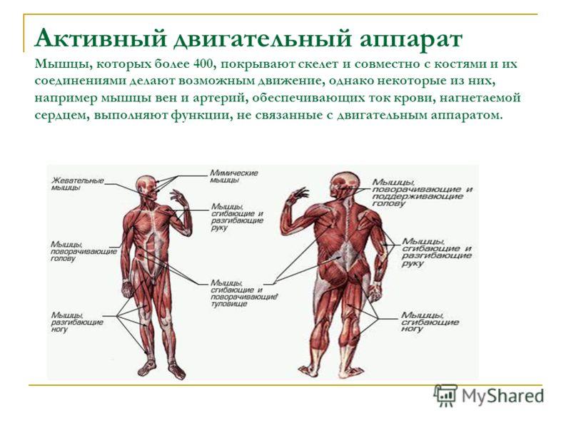 Активный двигательный аппарат Мышцы, которых более 400, покрывают скелет и совместно с костями и их соединениями делают возможным движение, однако некоторые из них, например мышцы вен и артерий, обеспечивающих ток крови, нагнетаемой сердцем, выполняю