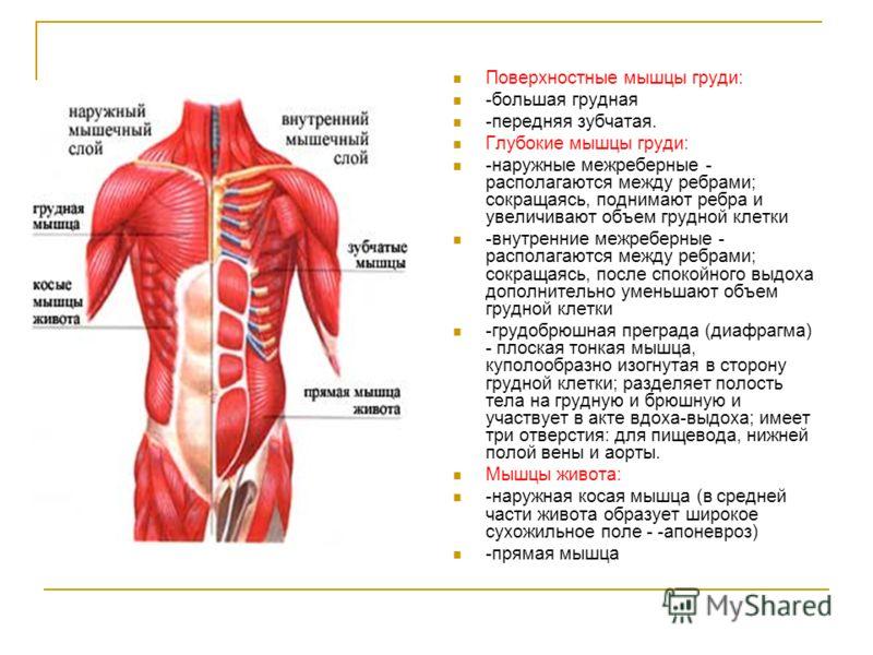 Поверхностные мышцы груди: -большая грудная -передняя зубчатая. Глубокие мышцы груди: -наружные межреберные - располагаются между ребрами; сокращаясь, поднимают ребра и увеличивают объем грудной клетки -внутренние межреберные - располагаются между ре
