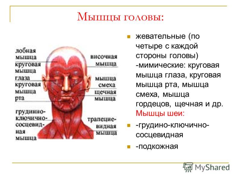 Мышцы головы: жевательные (по четыре с каждой стороны головы) -мимические: круговая мышца глаза, круговая мышца рта, мышца смеха, мышца гордецов, щечная и др. Мышцы шеи: -грудино-ключично- сосцевидная -подкожная