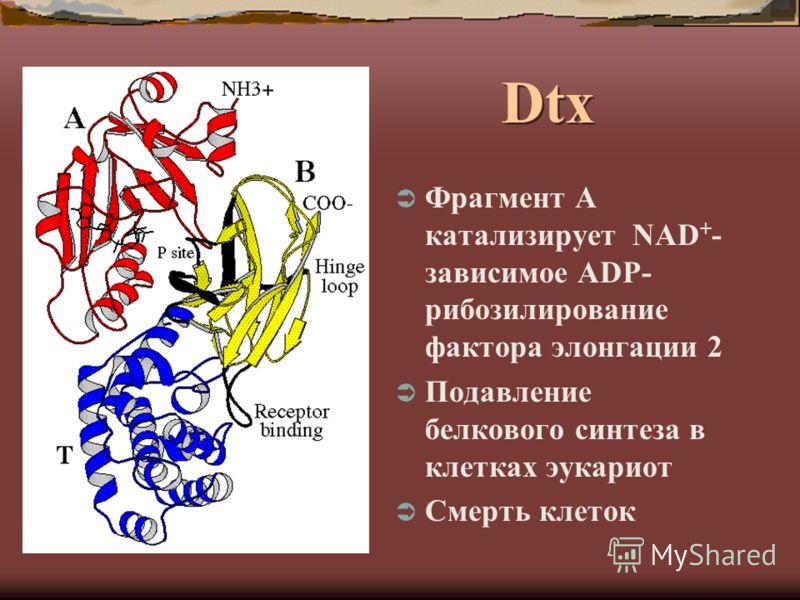 Dtx Фрагмент А катализирует NAD + - зависимое ADP- рибозилирование фактора элонгации 2 Подавление белкового синтеза в клетках эукариот Смерть клеток