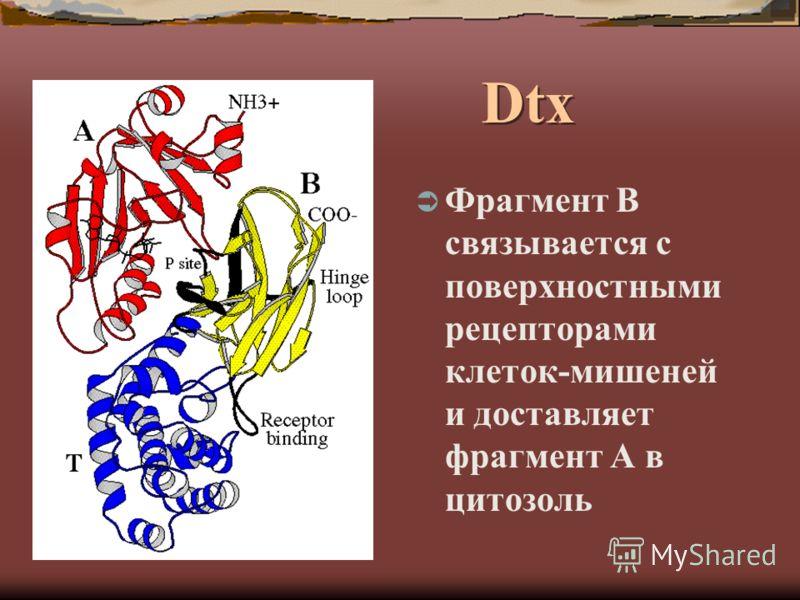 Dtx Фрагмент В связывается с поверхностными рецепторами клеток-мишеней и доставляет фрагмент А в цитозоль