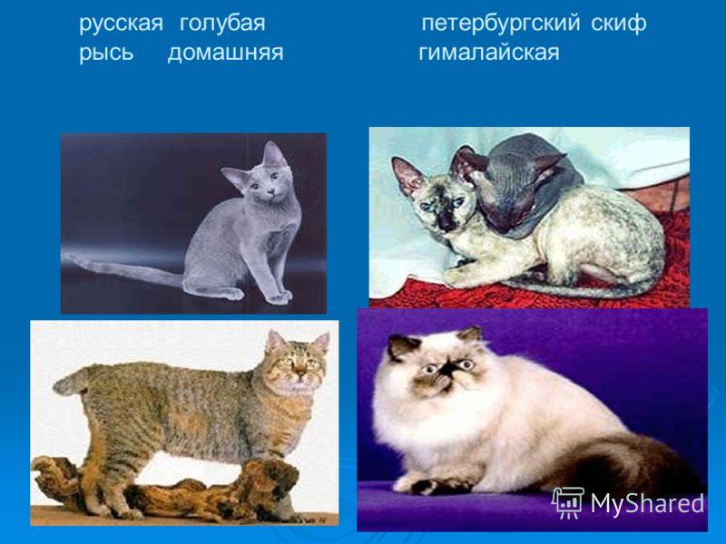 русская голубая петербургский скиф рысь домашняя гималайская