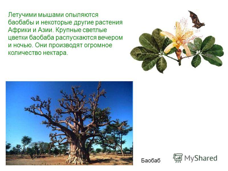 Летучими мышами опыляются баобабы и некоторые другие растения Африки и Азии. Крупные светлые цветки баобаба распускаются вечером и ночью. Они производят огромное количество нектара. Баобаб