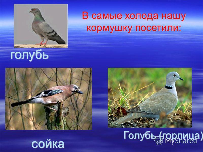 Голубь (горлица) голубь сойка В самые холода нашу кормушку посетили: