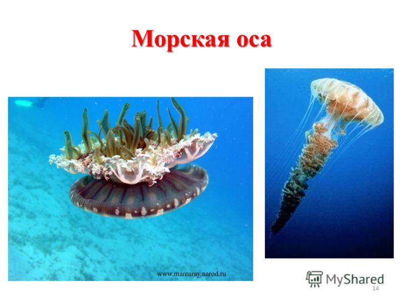 Морская оса 14