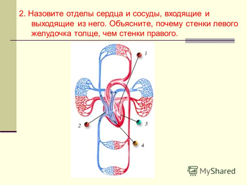 2. Назовите отделы сердца и сосуды, входящие и выходящие из него. Объясните, почему стенки левого желудочка толще, чем стенки правого.