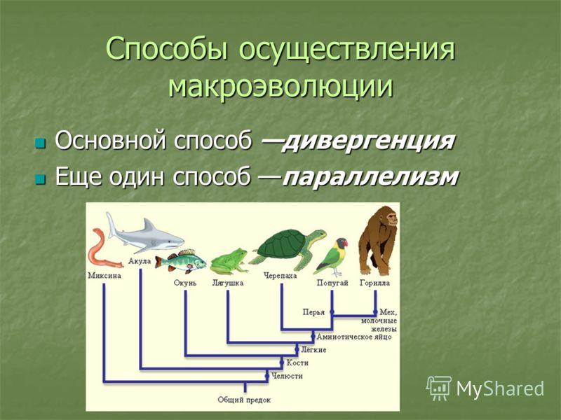 Способы осуществления макроэволюции Основной способ дивергенция Основной способ дивергенция Еще один способ параллелизм Еще один способ параллелизм