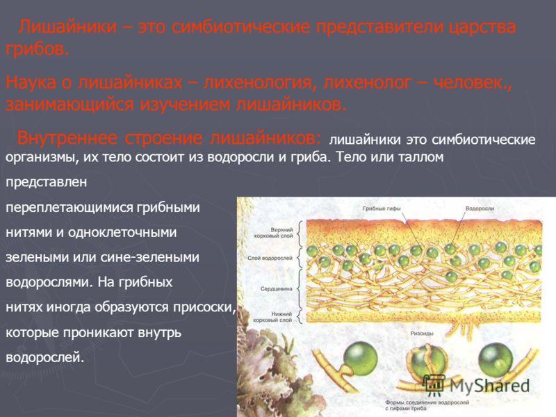Лишайники – это симбиотические представители царства грибов. Наука о лишайниках – лихенология, лихенолог – человек., занимающийся изучением лишайников. Внутреннее строение лишайников: лишайники это симбиотические организмы, их тело состоит из водорос