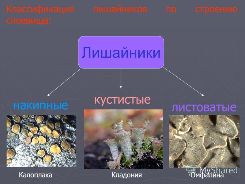 Классификация лишайников по строению слоевища: Лишайники накипные листоватые кустистые КалоплакаОмфалинаКладония