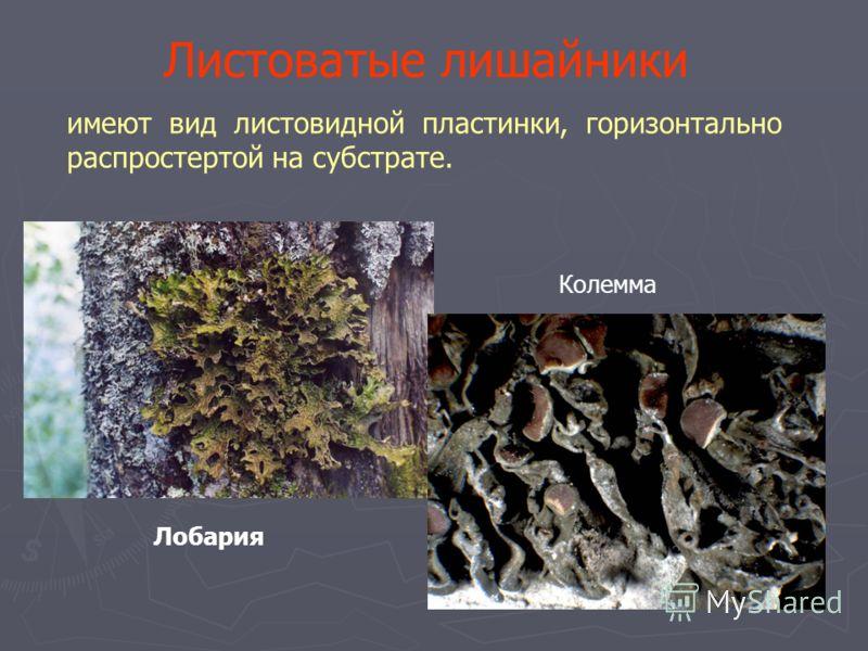 Листоватые лишайники имеют вид листовидной пластинки, горизонтально распростертой на субстрате. Лобария Колемма