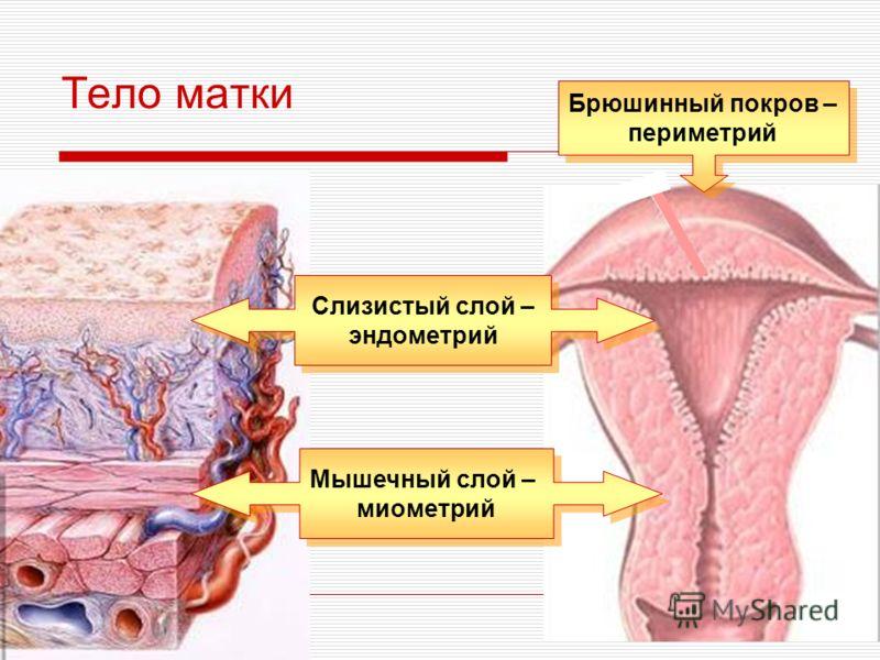 Тело матки Слизистый слой – эндометрий Слизистый слой – эндометрий Мышечный слой – миометрий Мышечный слой – миометрий Брюшинный покров – периметрий Брюшинный покров – периметрий