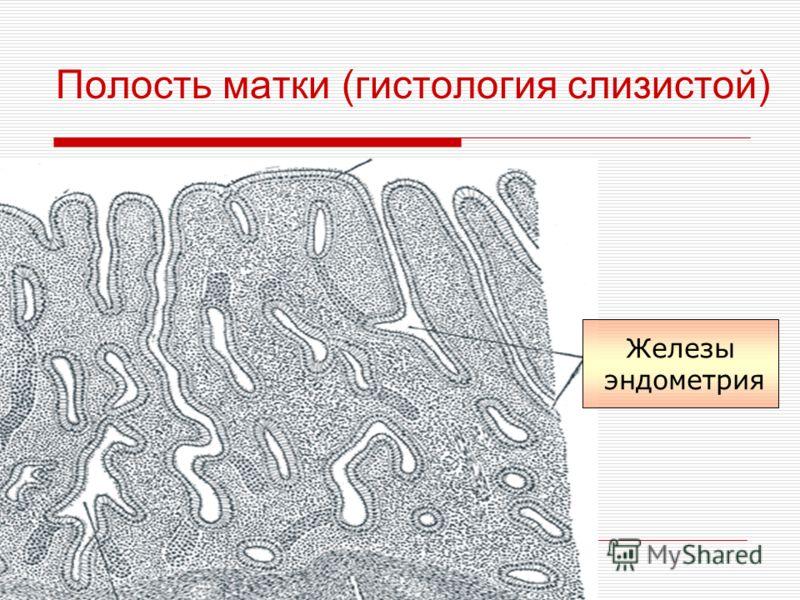 Полость матки (гистология слизистой) Железы эндометрия