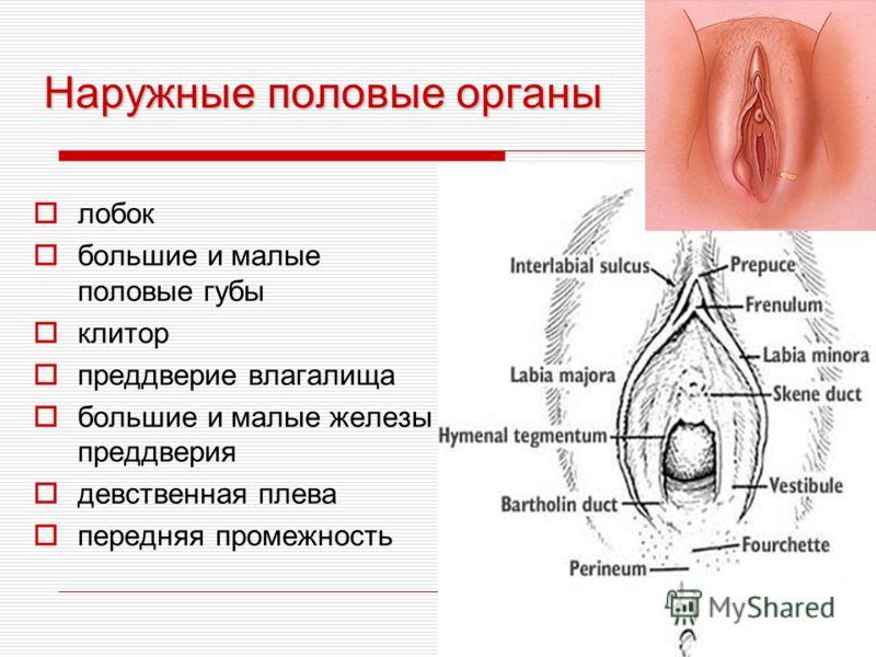 Наружные половые органы лобок большие и малые половые губы клитор преддверие влагалища большие и малые железы преддверия девственная плева передняя промежность
