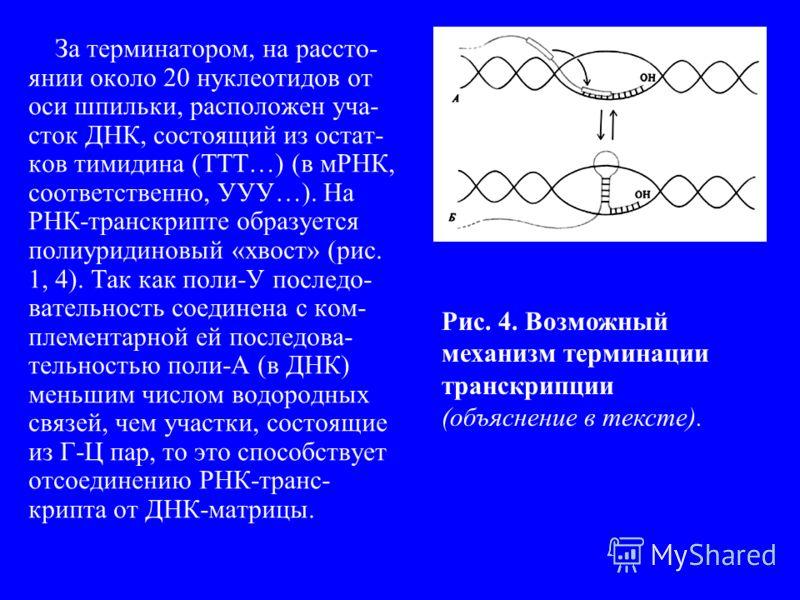 За терминатором, на рассто- янии около 20 нуклеотидов от оси шпильки, расположен уча- сток ДНК, состоящий из остат- ков тимидина (ТТТ…) (в мРНК, соответственно, УУУ…). На РНК-транскрипте образуется полиуридиновый «хвост» (рис. 1, 4). Так как поли-У п